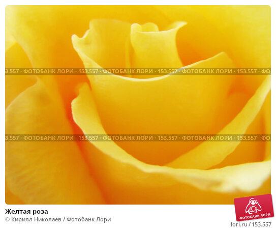Желтая роза, фото № 153557, снято 7 июля 2006 г. (c) Кирилл Николаев / Фотобанк Лори