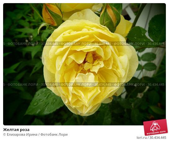 Желтая роза. Стоковое фото, фотограф Елизарова Ирина / Фотобанк Лори