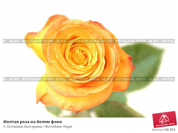 Желтая роза на белом фоне, фото № 68953, снято 4 августа 2007 г. (c) Останина Екатерина / Фотобанк Лори