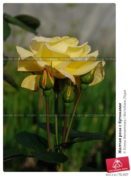 Купить «Желтая роза с бутонами», фото № 70097, снято 28 июля 2007 г. (c) Елена Филиппова / Фотобанк Лори