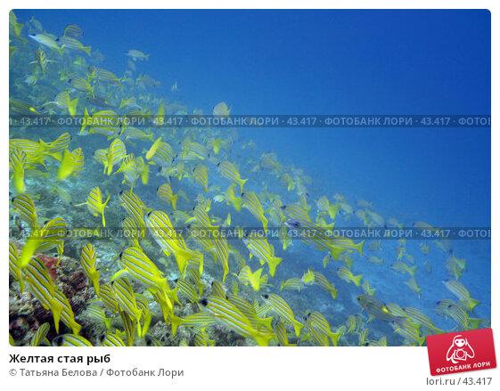 Купить «Желтая стая рыб», эксклюзивное фото № 43417, снято 26 ноября 2006 г. (c) Татьяна Белова / Фотобанк Лори