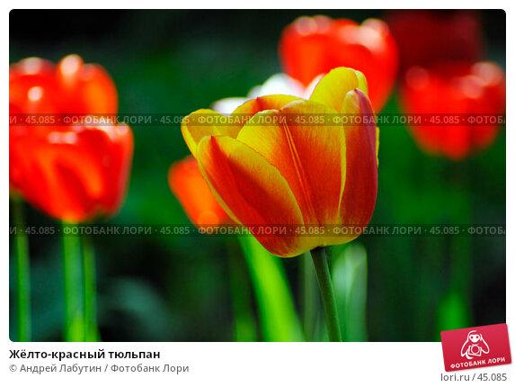 Жёлто-красный тюльпан, фото № 45085, снято 20 мая 2007 г. (c) Андрей Лабутин / Фотобанк Лори