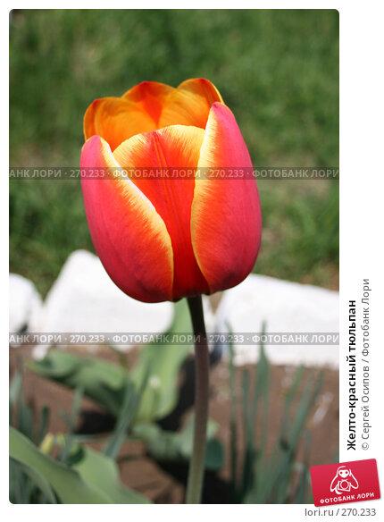 Желто-красный тюльпан, фото № 270233, снято 1 мая 2006 г. (c) Сергей Осипов / Фотобанк Лори
