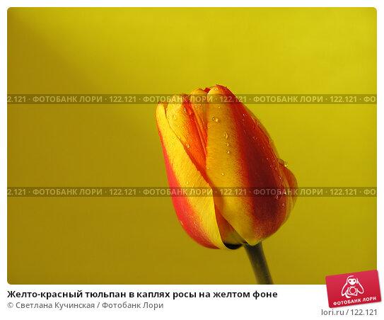 Желто-красный тюльпан в каплях росы на желтом фоне, фото № 122121, снято 29 апреля 2017 г. (c) Светлана Кучинская / Фотобанк Лори