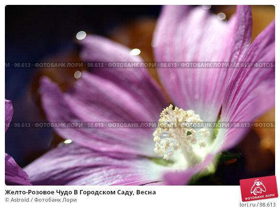 Купить «Желто-Розовое Чудо В Городском Саду, Весна», фото № 98613, снято 13 июля 2005 г. (c) Astroid / Фотобанк Лори