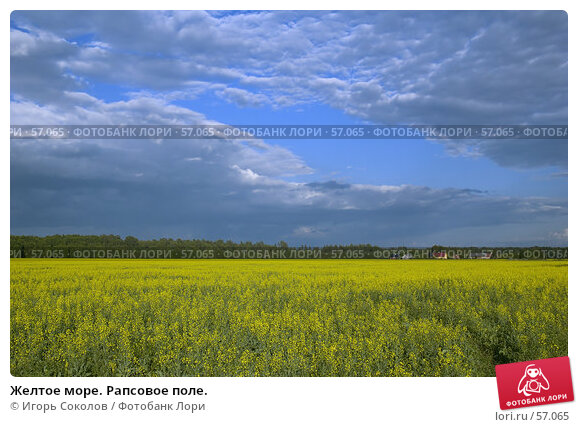 Желтое море. Рапсовое поле., фото № 57065, снято 27 февраля 2017 г. (c) Игорь Соколов / Фотобанк Лори