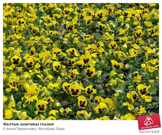 Желтые анютины глазки, фото № 4433, снято 21 мая 2006 г. (c) Агата Терентьева / Фотобанк Лори