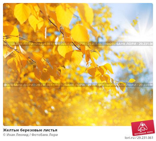 Купить «Желтые березовые листья», фото № 29231061, снято 16 сентября 2018 г. (c) Икан Леонид / Фотобанк Лори