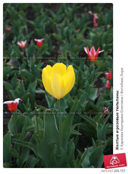 Желтые и розовые тюльпаны, фото № 266157, снято 27 апреля 2008 г. (c) Карасева Екатерина Олеговна / Фотобанк Лори