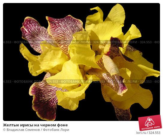 Желтые ирисы на черном фоне, фото № 324553, снято 13 июня 2008 г. (c) Владислав Семенов / Фотобанк Лори