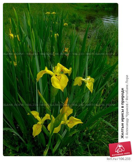 Желтые ирисы в природе, фото № 106233, снято 18 июня 2006 г. (c) Александр Чураков / Фотобанк Лори