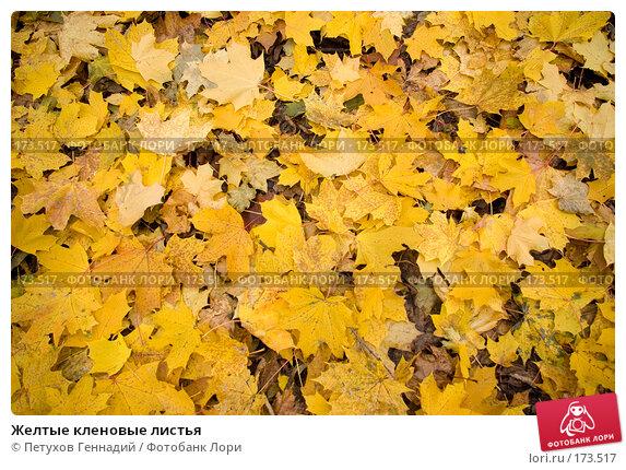 Желтые кленовые листья, фото № 173517, снято 27 октября 2007 г. (c) Петухов Геннадий / Фотобанк Лори
