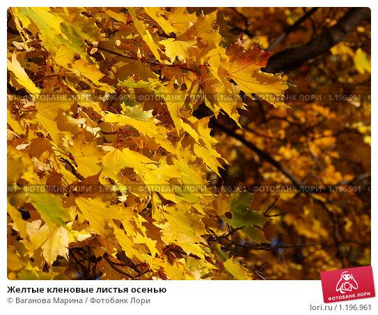 Желтые кленовые листья осенью. Стоковое фото, фотограф Ваганова Марина / Фотобанк Лори