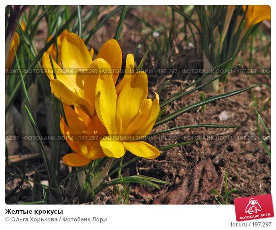 Желтые крокусы, фото № 197297, снято 1 мая 2007 г. (c) Ольга Хорькова / Фотобанк Лори