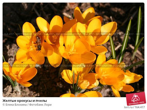 Желтые крокусы и пчелы, фото № 164417, снято 29 марта 2007 г. (c) Елена Блохина / Фотобанк Лори