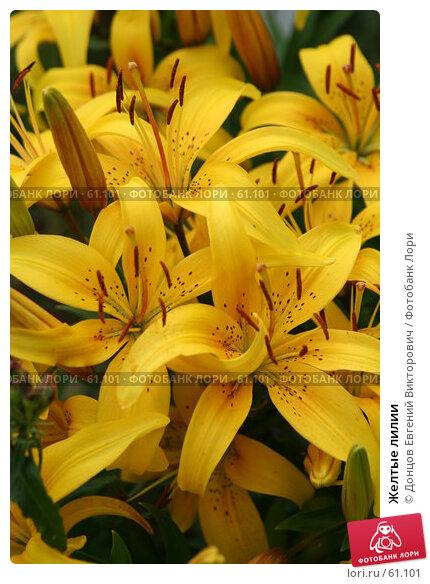 Желтые лилии, фото № 61101, снято 10 июля 2007 г. (c) Донцов Евгений Викторович / Фотобанк Лори