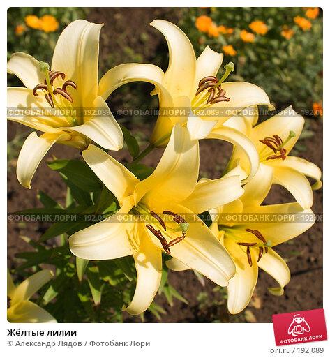 Жёлтые лилии, фото № 192089, снято 11 августа 2007 г. (c) Александр Лядов / Фотобанк Лори