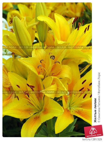Желтые лилии, фото № 281529, снято 20 июля 2005 г. (c) Смыгина Татьяна / Фотобанк Лори