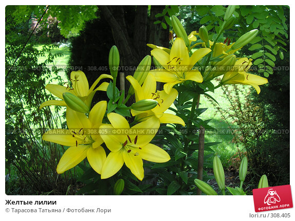 Желтые лилии, фото № 308405, снято 25 июня 2007 г. (c) Тарасова Татьяна / Фотобанк Лори