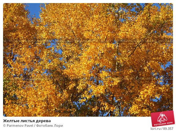 Желтые листья дерева, фото № 89357, снято 22 сентября 2007 г. (c) Parmenov Pavel / Фотобанк Лори