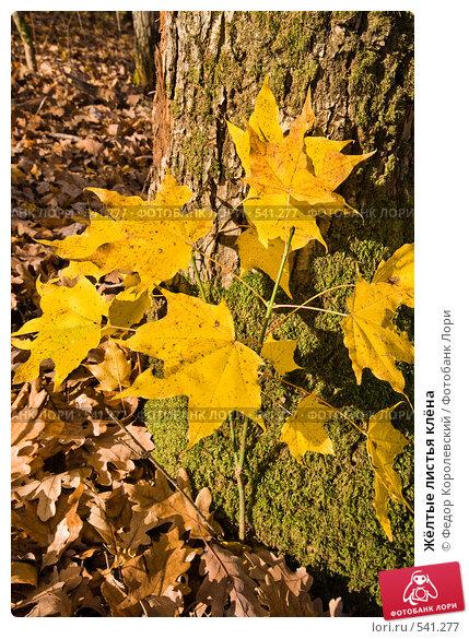 Купить «Жёлтые листья клёна», фото № 541277, снято 3 ноября 2008 г. (c) Федор Королевский / Фотобанк Лори