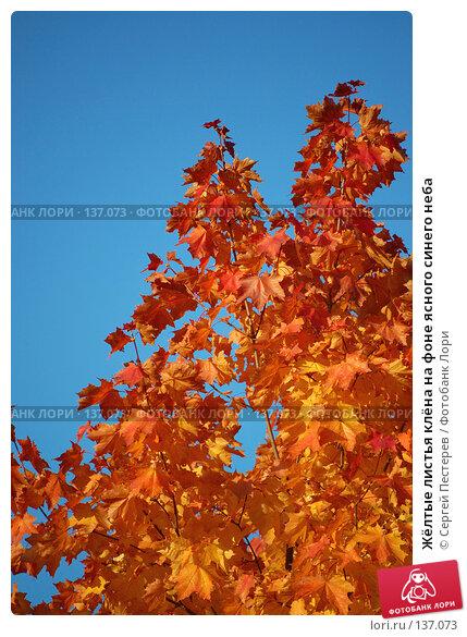 Жёлтые листья клёна на фоне ясного синего неба, фото № 137073, снято 21 сентября 2007 г. (c) Сергей Пестерев / Фотобанк Лори