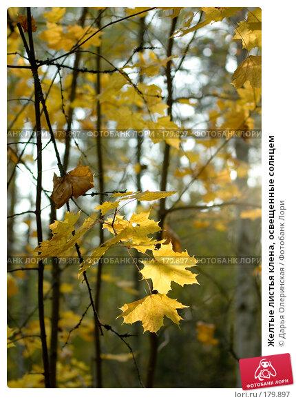 Желтые листья клена, освещенные солнцем, фото № 179897, снято 30 сентября 2007 г. (c) Дарья Олеринская / Фотобанк Лори