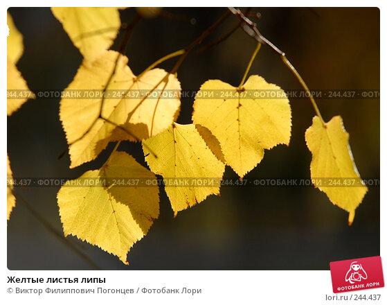 Желтые листья липы, фото № 244437, снято 13 ноября 2007 г. (c) Виктор Филиппович Погонцев / Фотобанк Лори