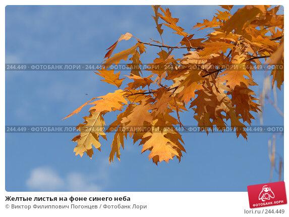Желтые листья на фоне синего неба, фото № 244449, снято 13 ноября 2007 г. (c) Виктор Филиппович Погонцев / Фотобанк Лори