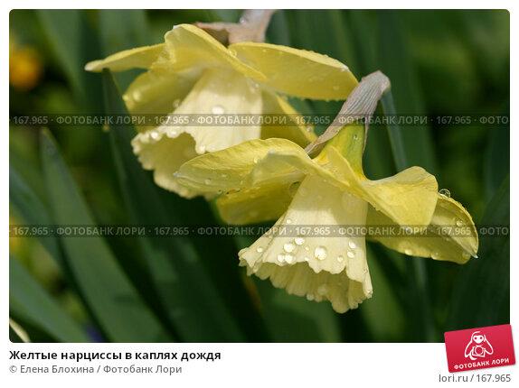 Желтые нарциссы в каплях дождя, фото № 167965, снято 2 мая 2007 г. (c) Елена Блохина / Фотобанк Лори