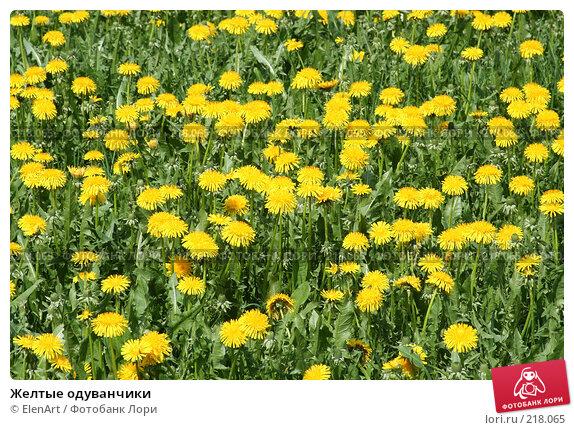 Купить «Желтые одуванчики», фото № 218065, снято 19 апреля 2018 г. (c) ElenArt / Фотобанк Лори