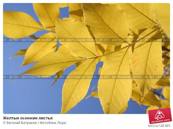 Желтые осенние листья, фото № 20301, снято 25 сентября 2006 г. (c) Евгений Батраков / Фотобанк Лори