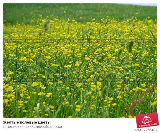 Желтые полевые цветы, фото № 236617, снято 11 июня 2007 г. (c) Ольга Хорькова / Фотобанк Лори