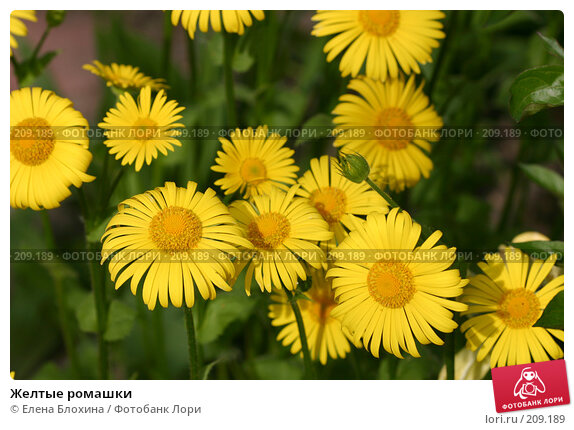 Желтые ромашки, фото № 209189, снято 19 мая 2007 г. (c) Елена Блохина / Фотобанк Лори