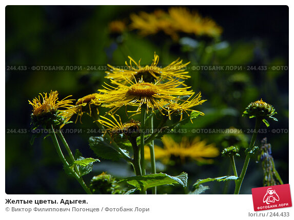 Желтые цветы. Адыгея., фото № 244433, снято 21 июля 2007 г. (c) Виктор Филиппович Погонцев / Фотобанк Лори