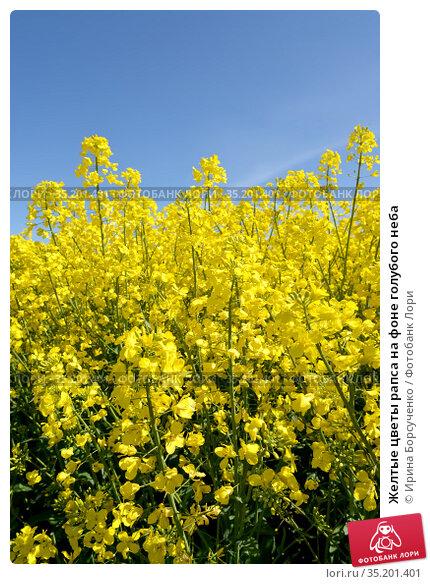 Желтые цветы рапса на фоне голубого неба. Стоковое фото, фотограф Ирина Борсученко / Фотобанк Лори
