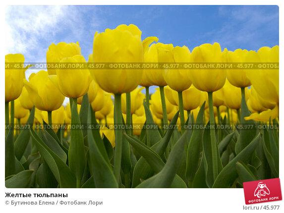 Желтые тюльпаны, фото № 45977, снято 22 мая 2007 г. (c) Бутинова Елена / Фотобанк Лори