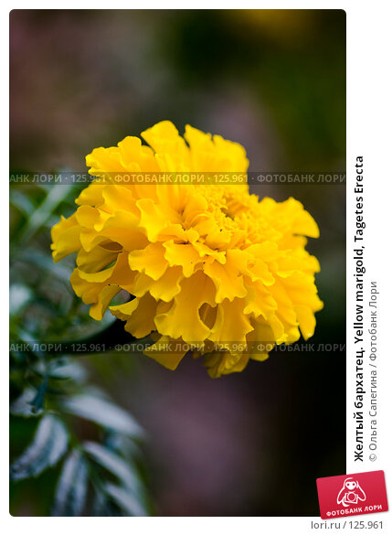 Желтый бархатец. Yellow marigold, Tagetes Erecta, фото № 125961, снято 15 августа 2007 г. (c) Ольга Сапегина / Фотобанк Лори