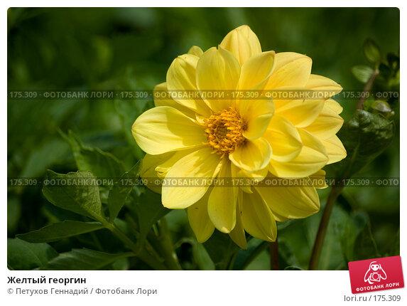 Желтый георгин, фото № 175309, снято 23 июля 2007 г. (c) Петухов Геннадий / Фотобанк Лори