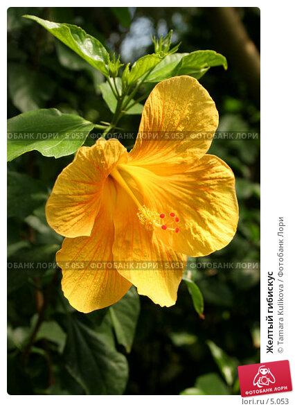 Желтый гибискус, фото № 5053, снято 1 июля 2006 г. (c) Tamara Kulikova / Фотобанк Лори