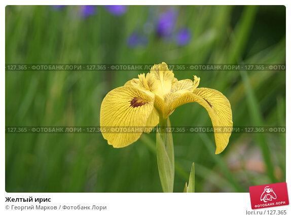 Купить «Желтый ирис», фото № 127365, снято 1 июля 2005 г. (c) Георгий Марков / Фотобанк Лори