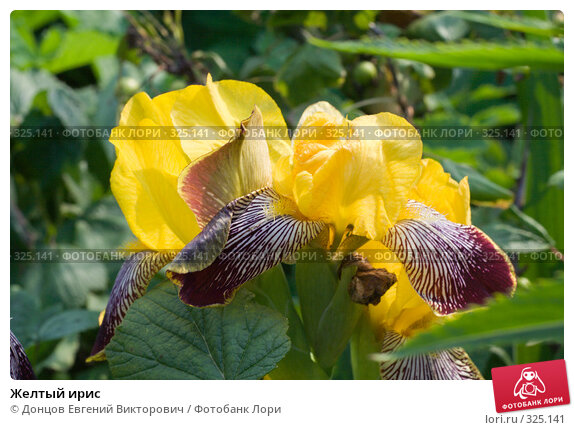 Купить «Желтый ирис», фото № 325141, снято 16 июня 2008 г. (c) Донцов Евгений Викторович / Фотобанк Лори
