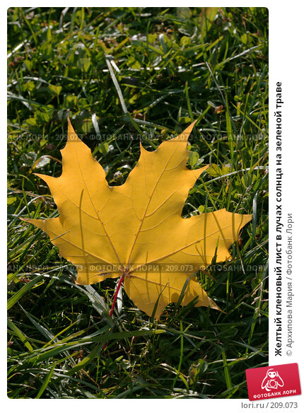 Купить «Желтый кленовый лист в лучах солнца на зеленой траве», фото № 209073, снято 7 октября 2007 г. (c) Архипова Мария / Фотобанк Лори