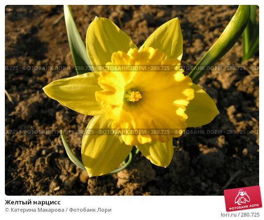 Купить «Желтый нарцисс», фото № 280725, снято 10 мая 2008 г. (c) Катерина Макарова / Фотобанк Лори