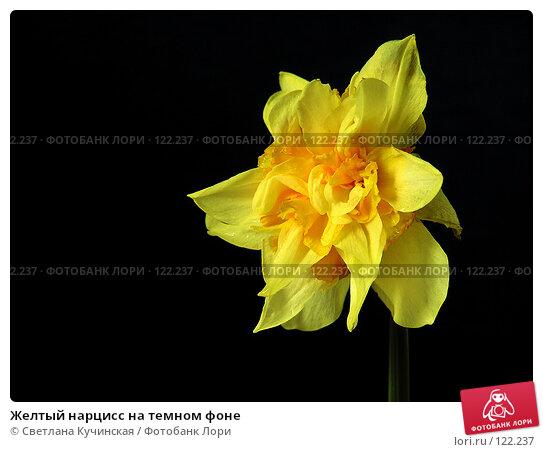 Желтый нарцисс на темном фоне, фото № 122237, снято 27 мая 2017 г. (c) Светлана Кучинская / Фотобанк Лори
