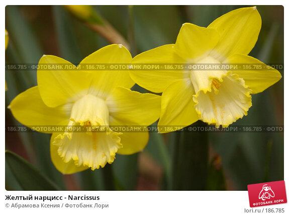 Желтый нарцисс - Narcissus, фото № 186785, снято 8 мая 2006 г. (c) Абрамова Ксения / Фотобанк Лори