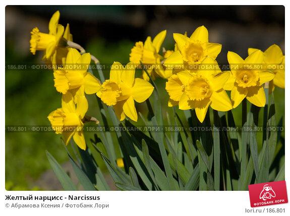 Желтый нарцисс - Narcissus, фото № 186801, снято 6 мая 2006 г. (c) Абрамова Ксения / Фотобанк Лори