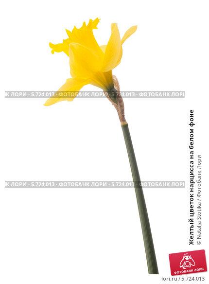 Купить «Желтый цветок нарцисса на белом фоне», фото № 5724013, снято 9 мая 2013 г. (c) Natalja Stotika / Фотобанк Лори