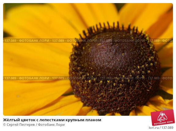 Жёлтый цветок с лепестками крупным планом, фото № 137089, снято 17 июля 2007 г. (c) Сергей Пестерев / Фотобанк Лори