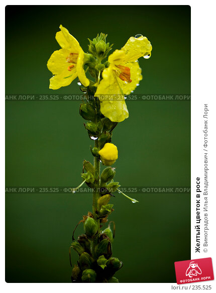 Желтый цветок в росе, фото № 235525, снято 27 октября 2007 г. (c) Виноградов Илья Владимирович / Фотобанк Лори